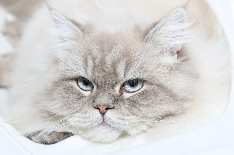 Gezicht van kat royalty-vrije stock fotografie