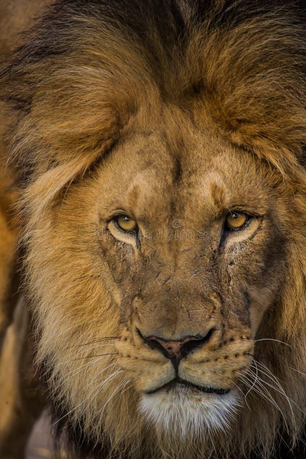 Gezicht van mannelijke leeuw royalty-vrije stock afbeelding