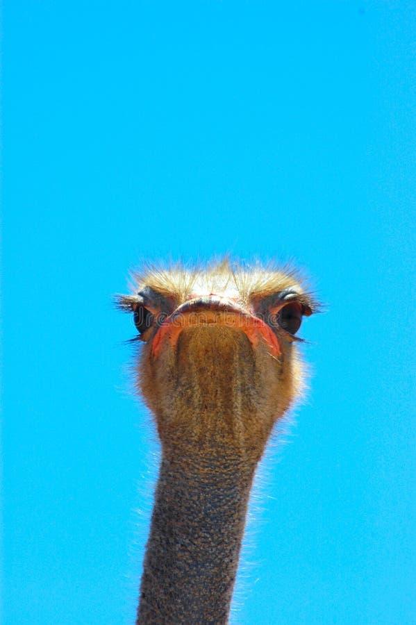 Gezicht van Struisvogel