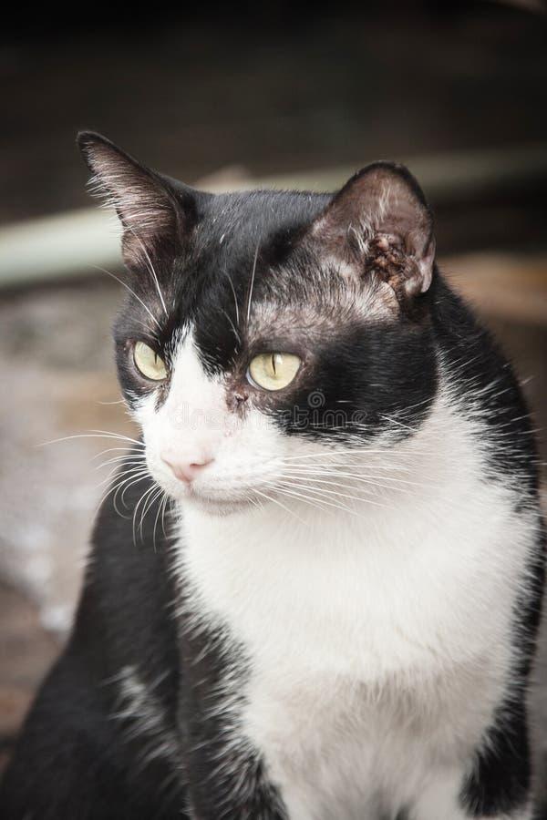 gezicht van zwart-witte verdwaalde kat het letten op camera royalty-vrije stock fotografie