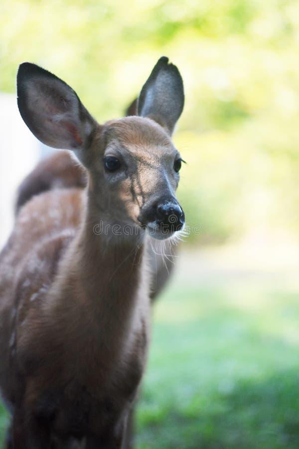 Gezichtsfoto van een Jong hert in de wildernis stock foto's