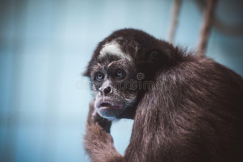 Gezichtsportret van een aap royalty-vrije stock foto