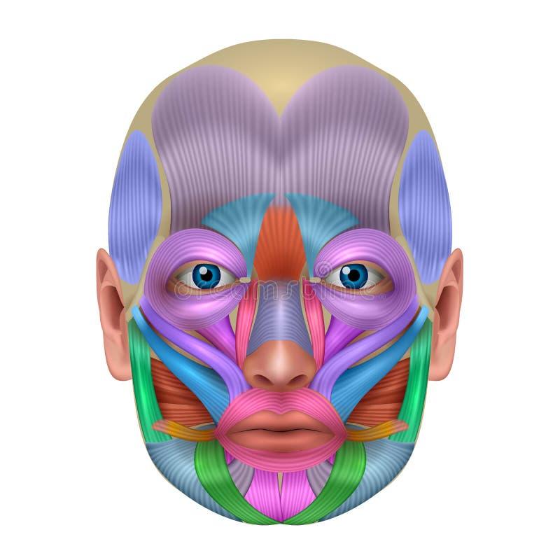 Gezichtsspieren vector illustratie