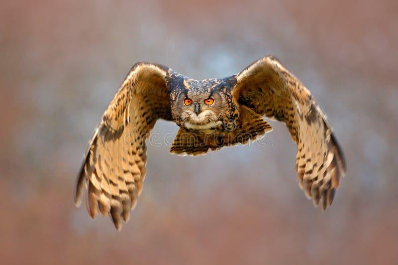 Gezichtsvlieg van uil Vliegende Europees-Aziatische Eagle-uil met open vleugels met sneeuwvlok in sneeuwbos tijdens de koude wint royalty-vrije stock afbeelding