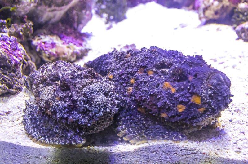 Gezien verrucosa van ertsaderstonefish Synanceia onderwater stock fotografie