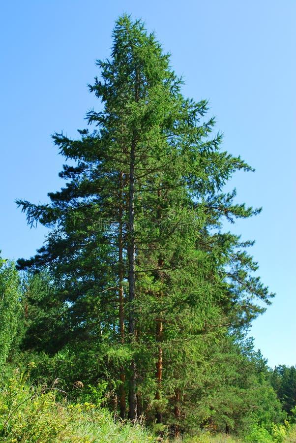 Gezierte Bäume stockfotografie