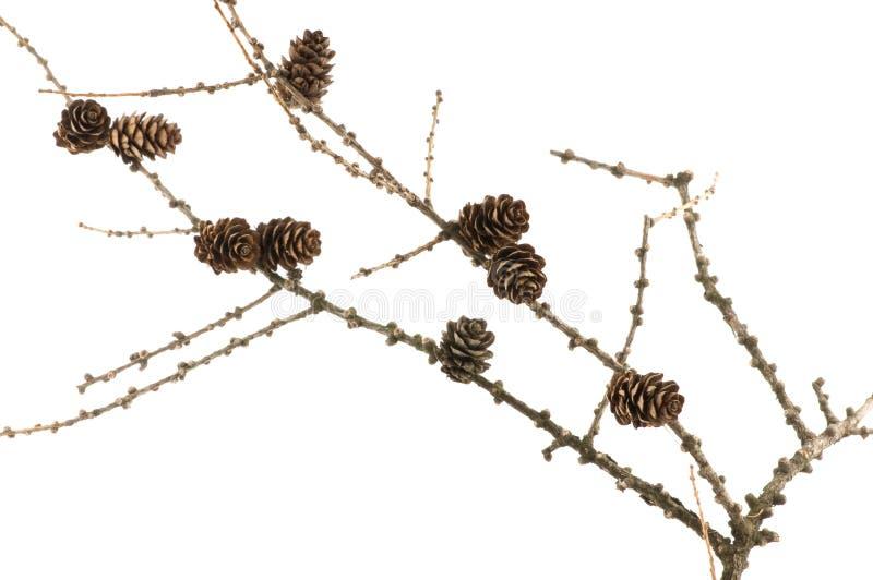 Gezierter Zweig mit Kegeln lizenzfreies stockfoto