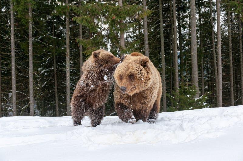 Gezinsbeer in het winterbos stock fotografie