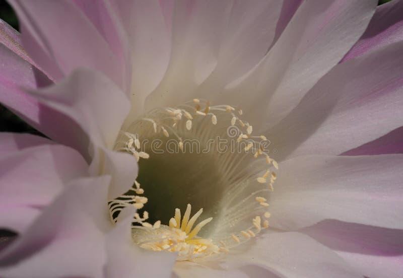Gezoem op cactusbloem royalty-vrije stock afbeeldingen