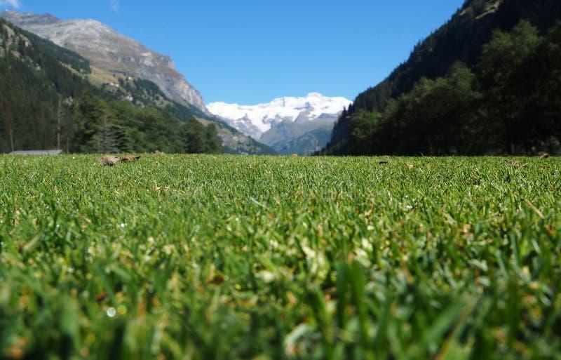 Gezoem op gras, Gressoney, Aosta, Italië royalty-vrije stock foto