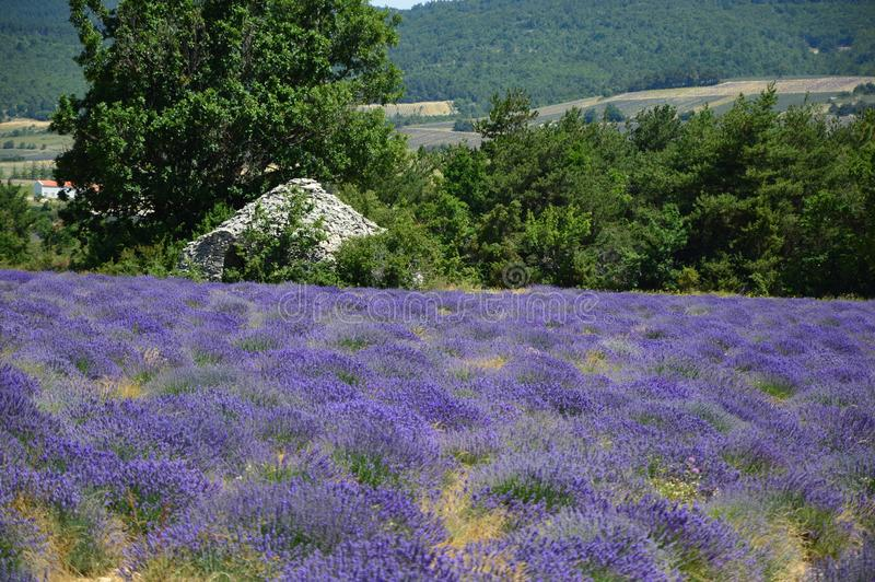 Gezoem op Lavendel in de Provence, Frankrijk royalty-vrije stock foto