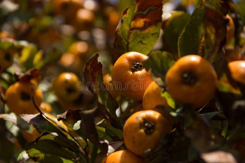 Gezoem van een tejocotesboom royalty-vrije stock fotografie