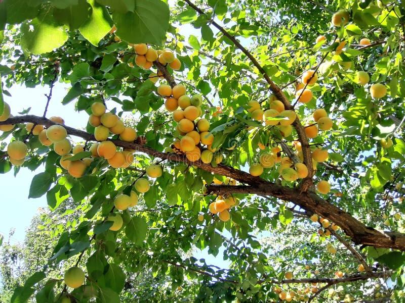 Gezond voedsel voor wellness Abrikoos op de boom Foto's in natuurlijk milieu Het beeld van de kleur stock afbeeldingen