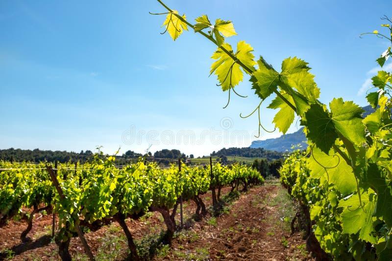 Gezonde groene wijngaard met wijnstokbladeren in voorgrond royalty-vrije stock afbeelding