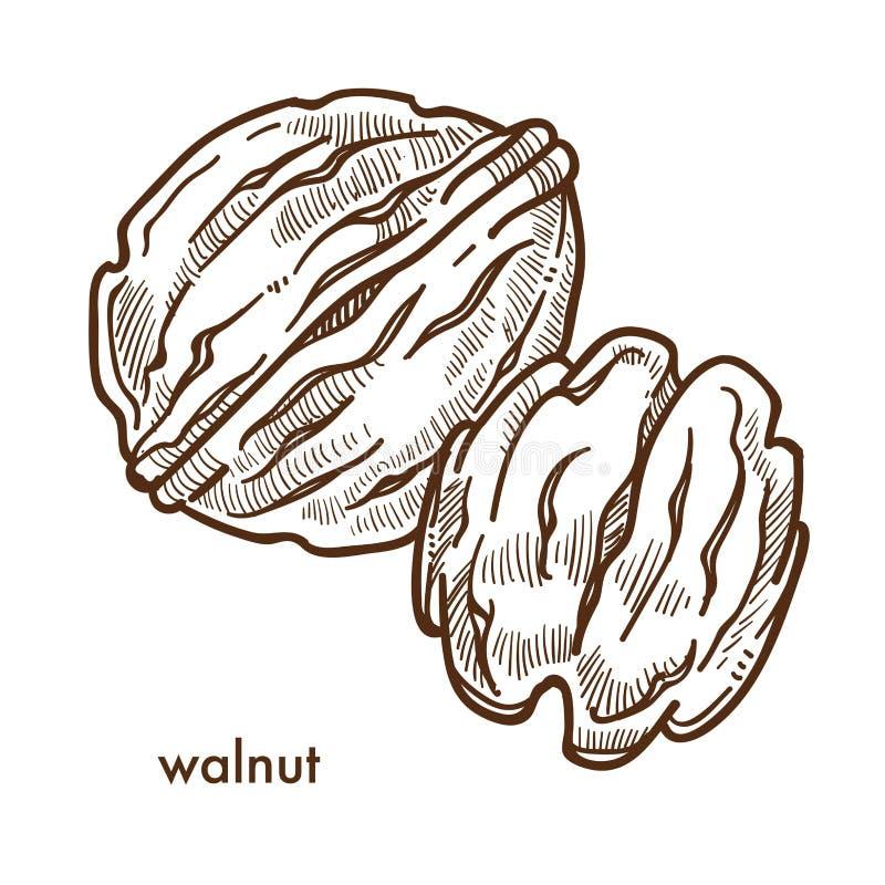 Gezonde heerlijke okkernoot in harde shell en gepeld stock illustratie