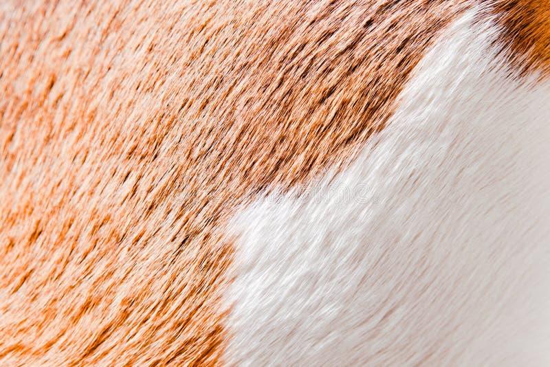 Gezonde huid van een glad-haired hond (brak) stock foto