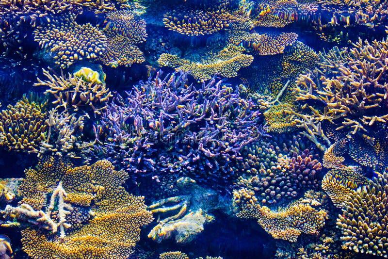 Gezonde Koralen in de Maldiven, Laccadivian-Overzees stock foto's