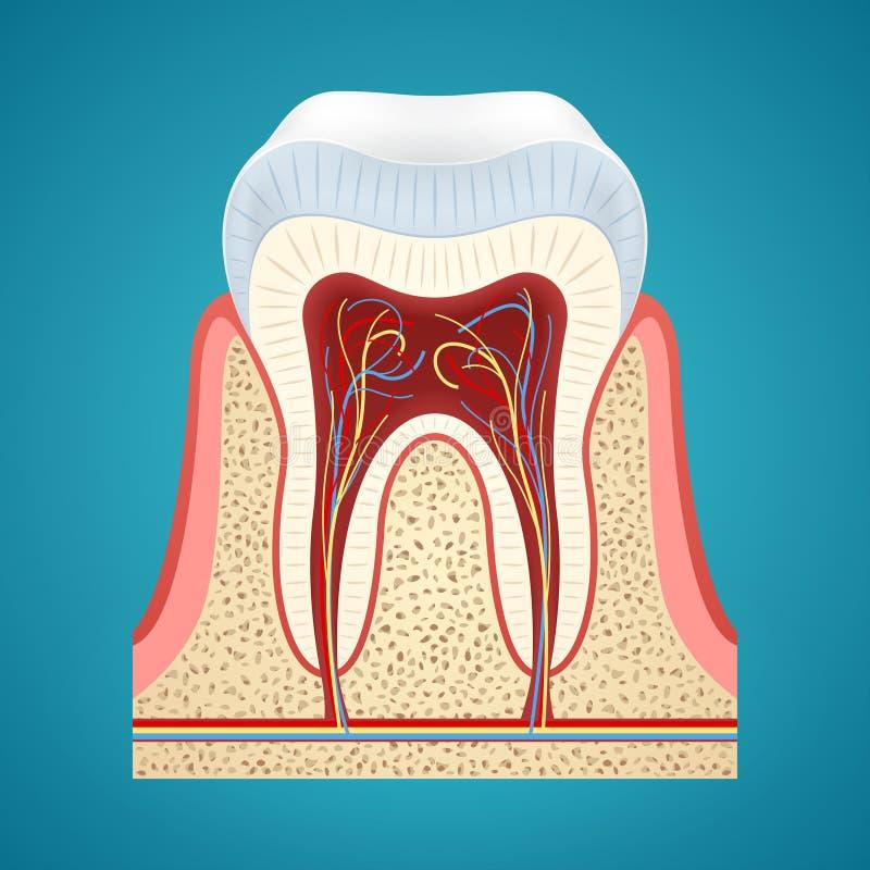 Gezonde menselijke tand in schema stock illustratie