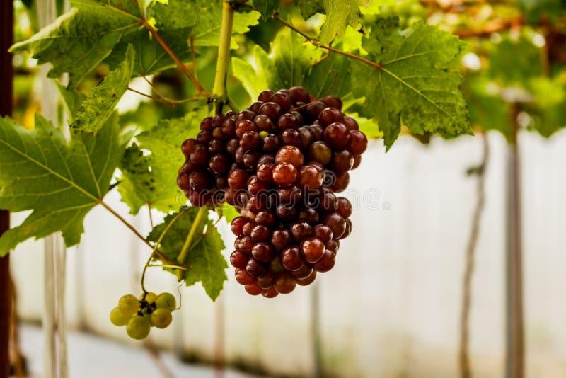 Gezonde vruchten Rode wijndruiven die in de wijngaard rijpen royalty-vrije stock fotografie