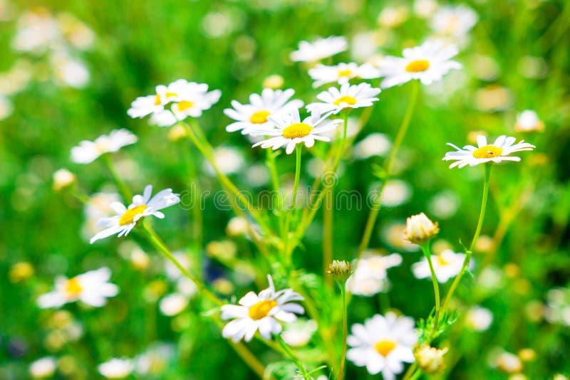 Gezondheidskruiden en madeliefjebloemen op de lenteweide De achtergrond van de lente stock foto