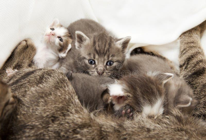 Gezoogde kattenbabys royalty-vrije stock foto's