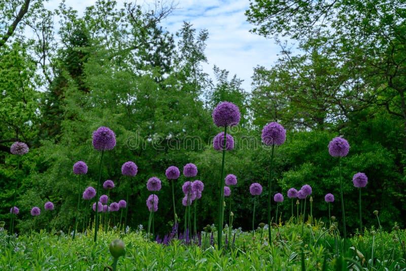 Gezwollen bloei van wilde ui op een gebied stock fotografie