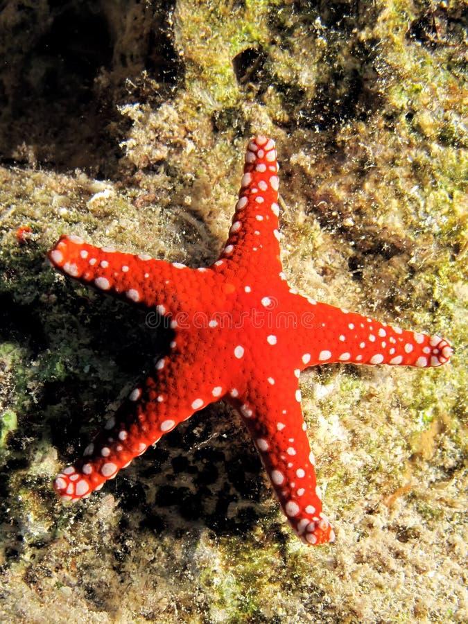 Download Gghardaqa sea star stock photo. Image of colorful, travel - 11688972