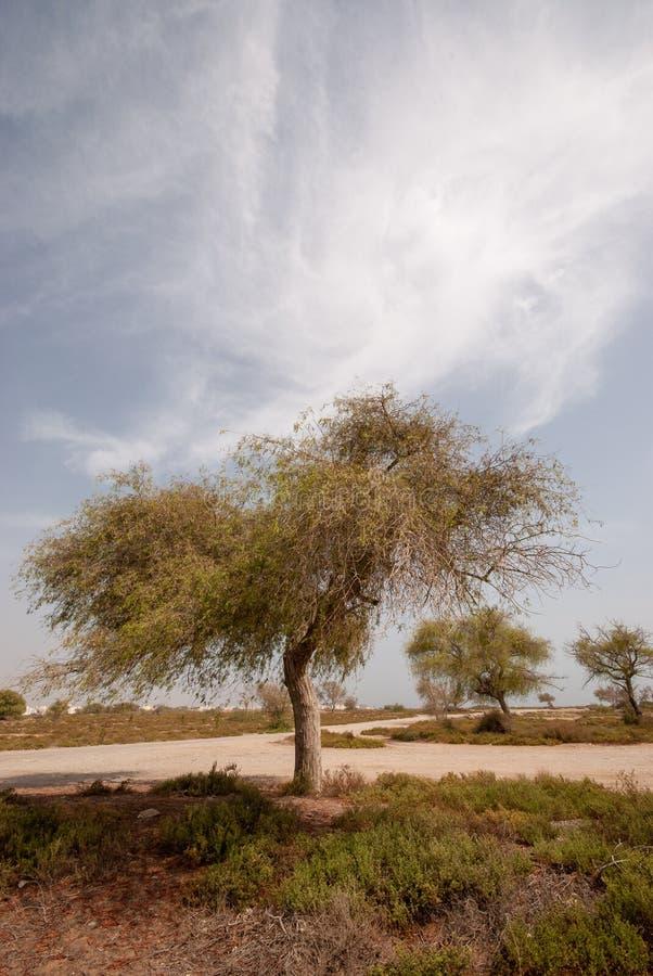 Ghaf Tree Clipart