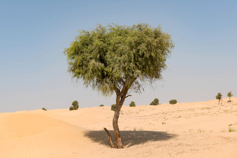 Ghaf tree in desert landscape with blue sky stock photos
