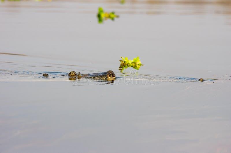 Gharial或Gavialis gangeticus吃鳄鱼的鱼 库存照片