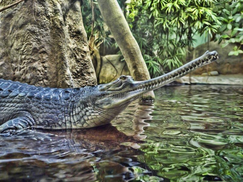 Gharial, Gavialis gangeticus,引人注意与一个非常长的下颌 免版税库存图片