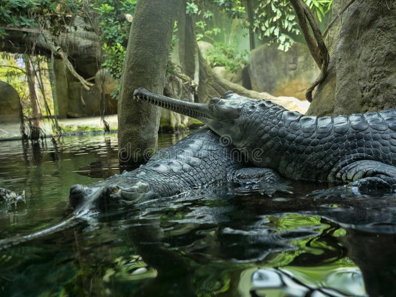 Gharial, Gavialis gangeticus,引人注意与一个非常长的下颌 库存照片