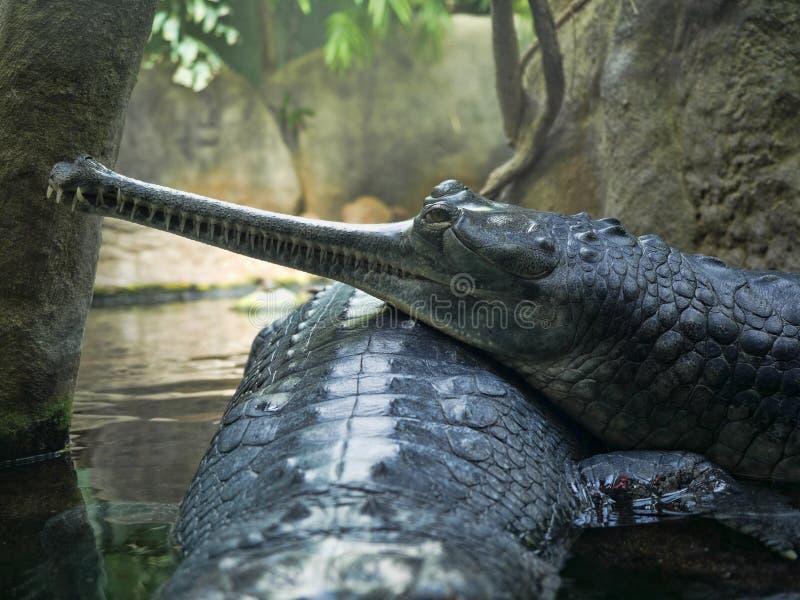 Gharial, Gavialis gangeticus,引人注意与一个非常长的下颌 免版税库存照片