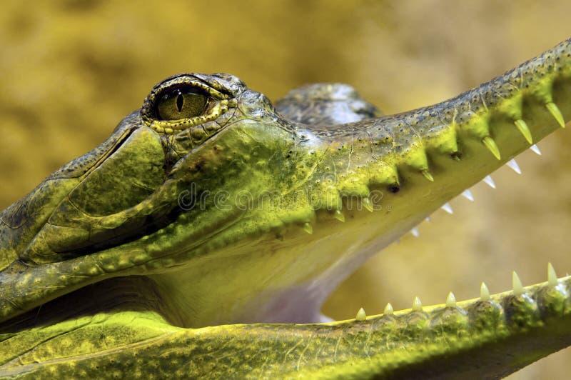 Gharial, γνωστό επίσης όπως gavial στοκ εικόνες
