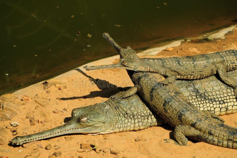 gharial μητέρα μωρών στοκ εικόνες με δικαίωμα ελεύθερης χρήσης