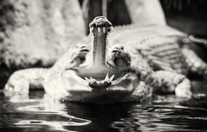 Gharial -与可怕的下颌的Gavialis gangeticus,无色 图库摄影