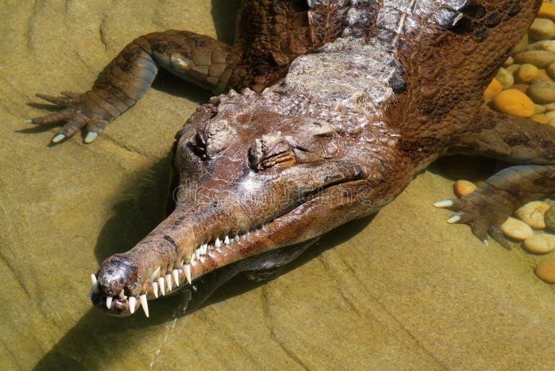 gharial стоковые изображения rf