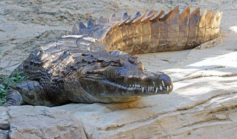 Gharial стоковое изображение rf