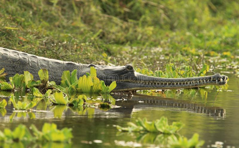 Gharial Crocodile royalty free stock images