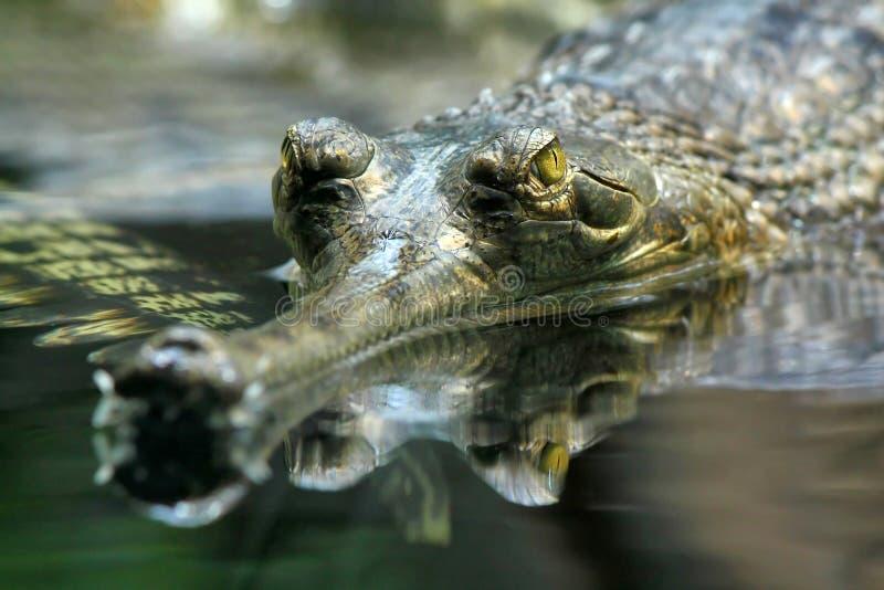 gharial gangeticus的gavialis 库存图片