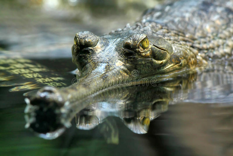 gharial gangeticusgavialis arkivbilder