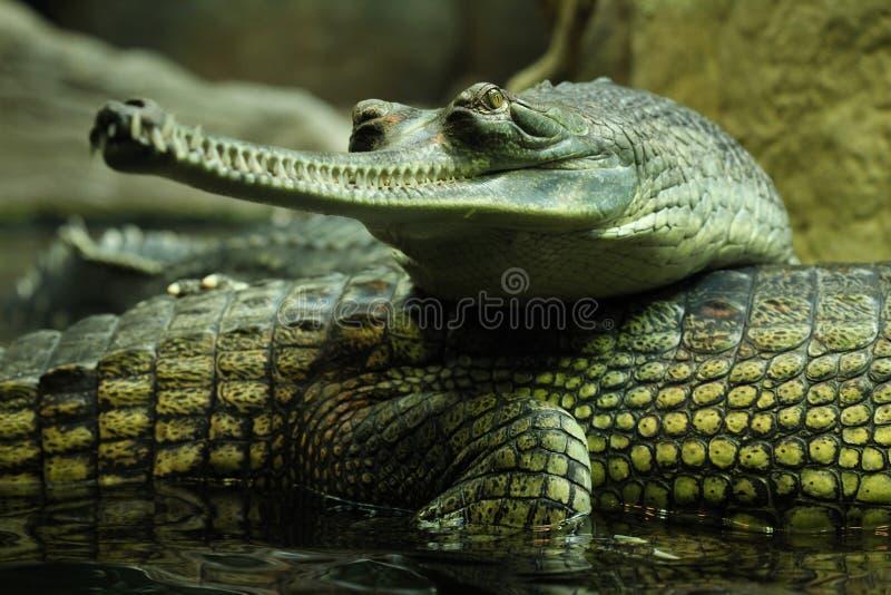 gharial gangeticusgavialis arkivfoton