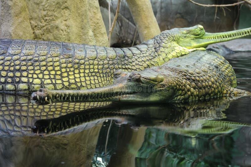 Gharial Gavialis gangeticus也知道作为gavial 免版税库存图片
