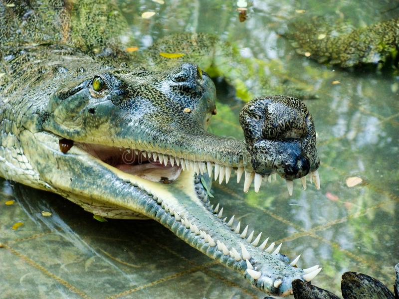 Gharial Gavialis gangeticus obrazy stock