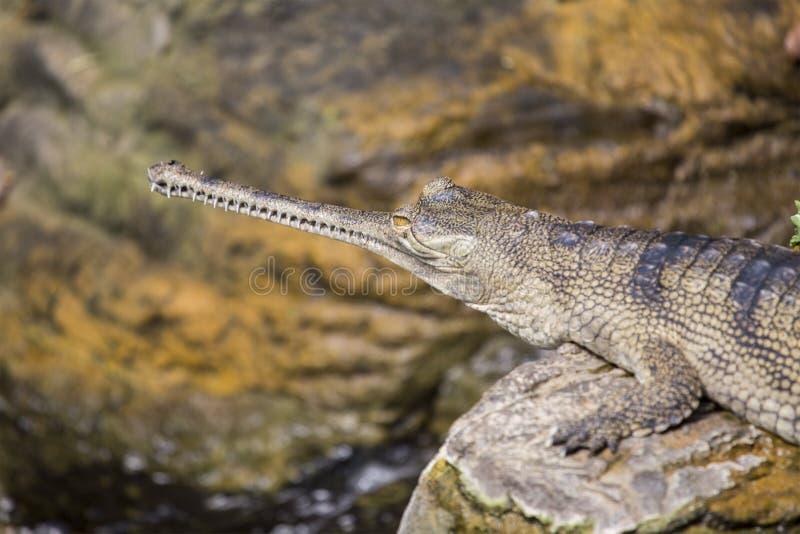 Gharial-Gavialis gangeticus lizenzfreie stockfotos