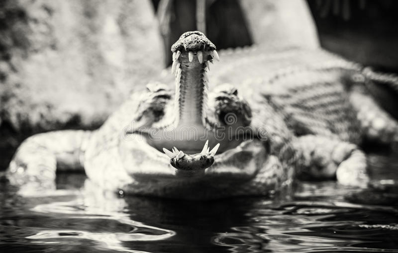 Gharial - Gavialis gangeticus with the horrible jaw, colorless stock photography