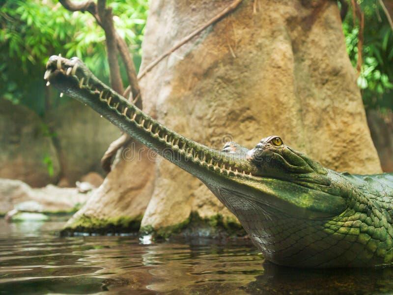Gharial - Gavialis gangeticus - krytycznie zagrażający w IUNC Czerwonej liście zdjęcie stock