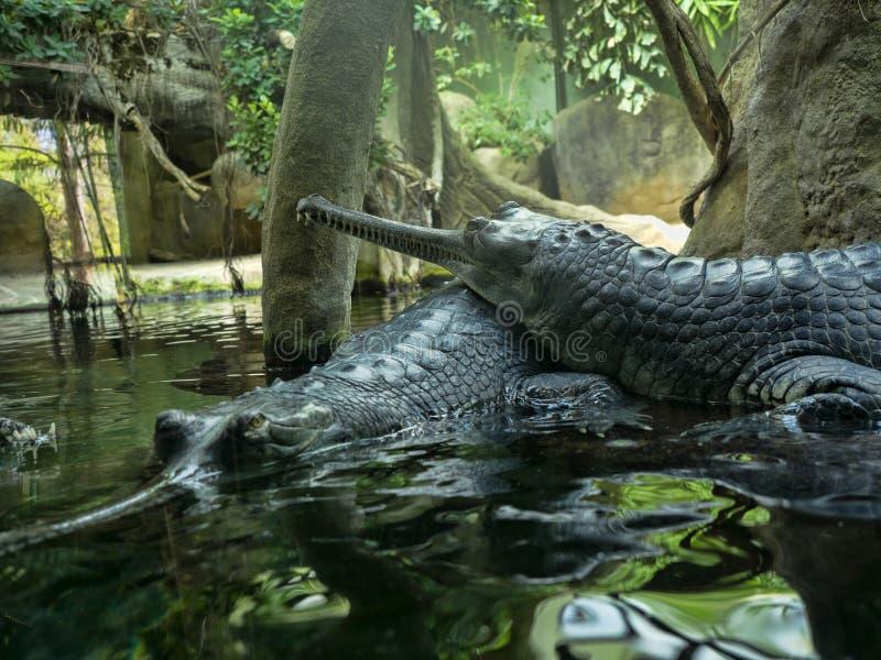 Gharial, Gavialis gangeticus, steht heraus mit einem sehr langen Kiefer stockfoto