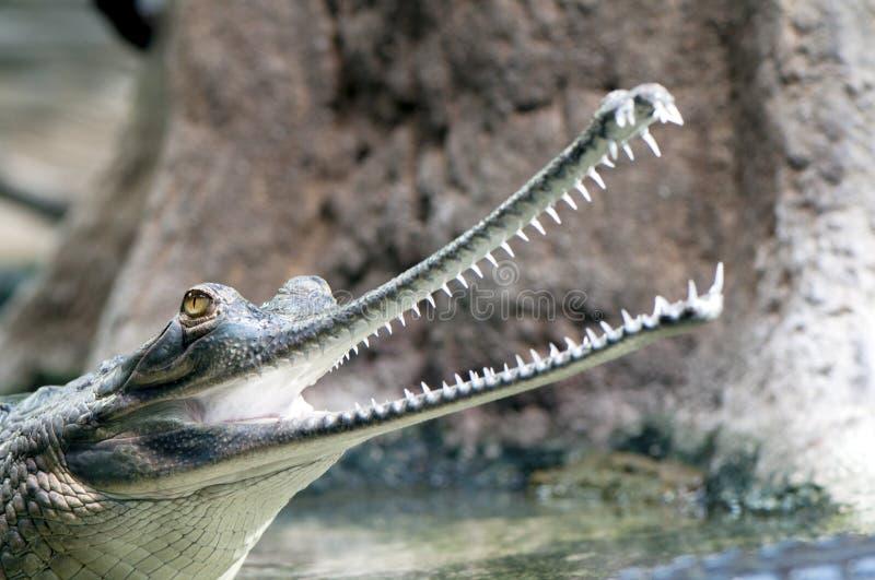 gharial indier arkivfoto
