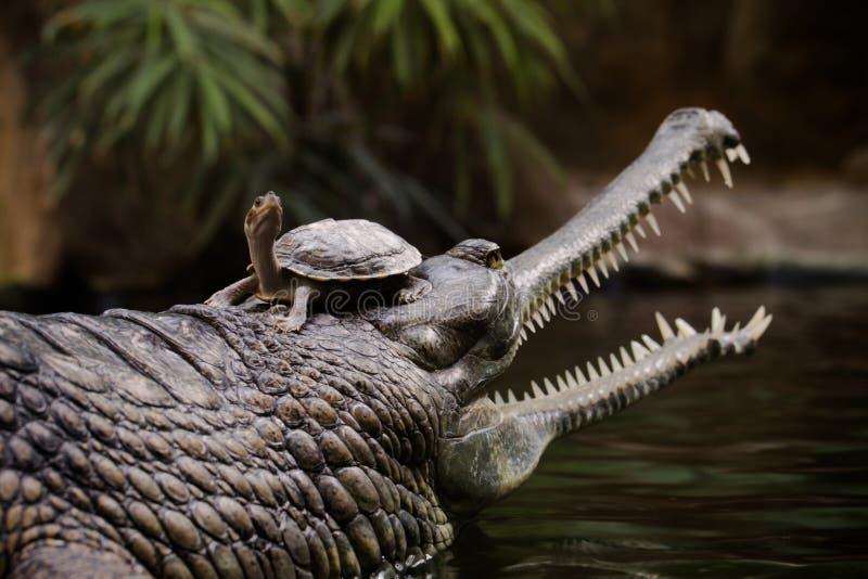 Gharial med en sköldpadda på huvudet royaltyfria foton